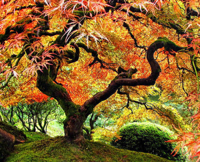 a Japanese Maple in the Japanese garden in Washington Park, Portland.