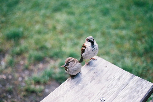 copulates:  Sparrows (by mgsn)
