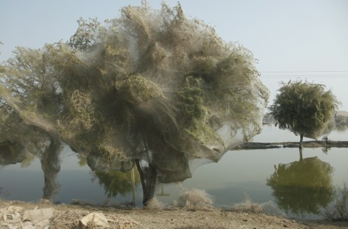 An unexpected effect of the Pakistan floods in 2010 were spiders forming nests in trees due to the higher water level. The trees literally became huge nests for all the spiders.