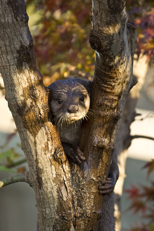 dailyotter:  Otter's Realization: Now That I Am in the Tree, How Do I Get Down? Thanks, kashiwaya920!
