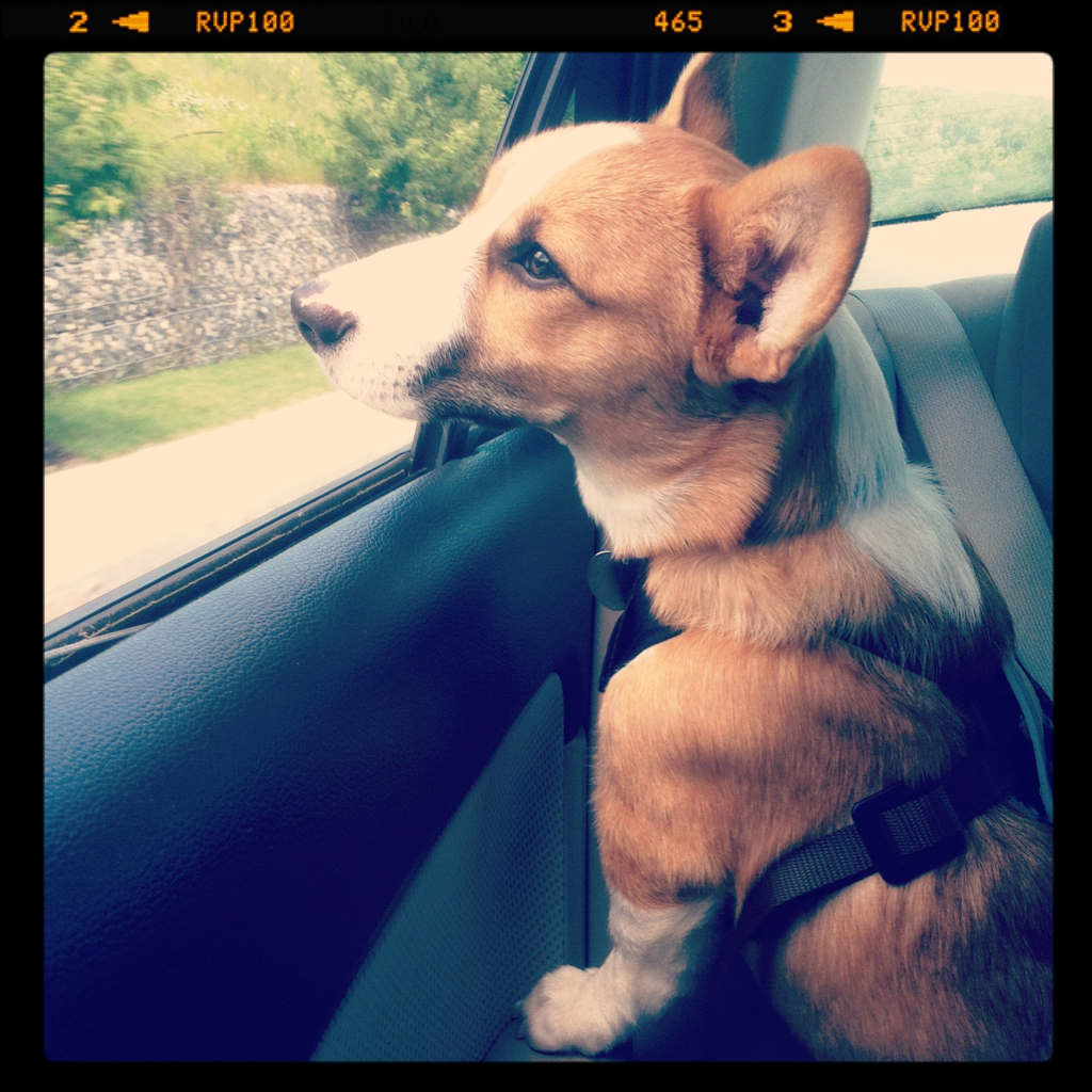 Love doggy seatbelts! Sufjan can look out the window but there's no worries about anything happening to him!