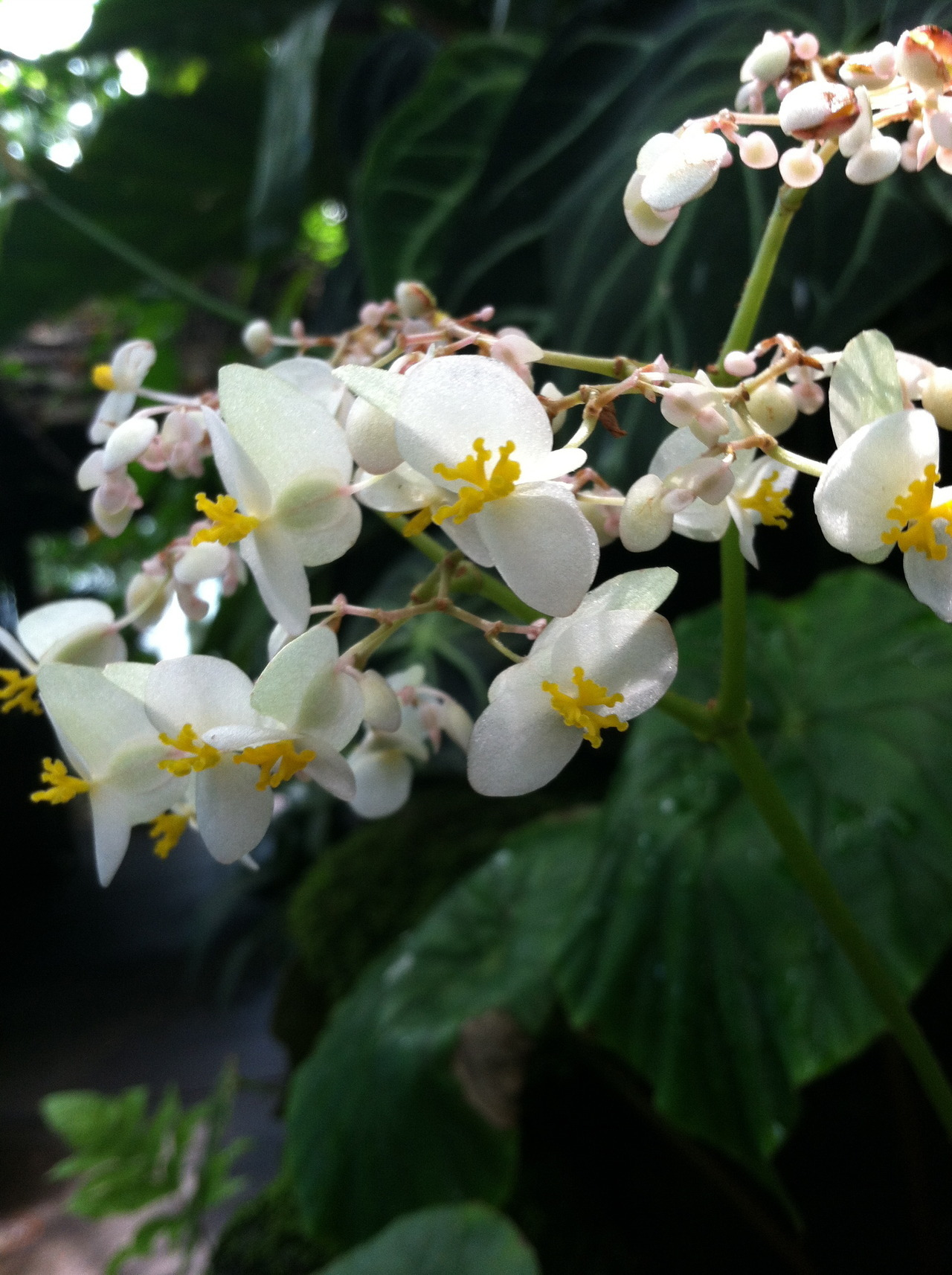 This is Begonia nelumbiifolia, a member of the Begoniaceae family. All members of the Begonia family are in the Begonia genus except for the single species in Hillebrandia. Begonias are popular as houseplants, because many of the species have colorful, impressive leaves. Photo by me.