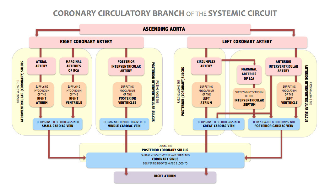 CORONARY CIRCULATIONthe coronary circulatory branch of the systemic circuit.attempting to depict the coronary arteries [that deliver oxygenated blood to the myocardium] and the coronary veins [that drain deoxygenated blood from the myocardium].