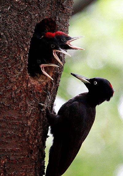 earthandscience:  A black woodpecker takes care of some newly hatched chicks in Cheolwon-gun, South Korea.  The plumage of this crow-sized woodpecker is entirely black apart from a red crown.  In males, the entire crown is red, but in females only the hindcrown. Photograph: Jeon Heon-Kyun/EPA
