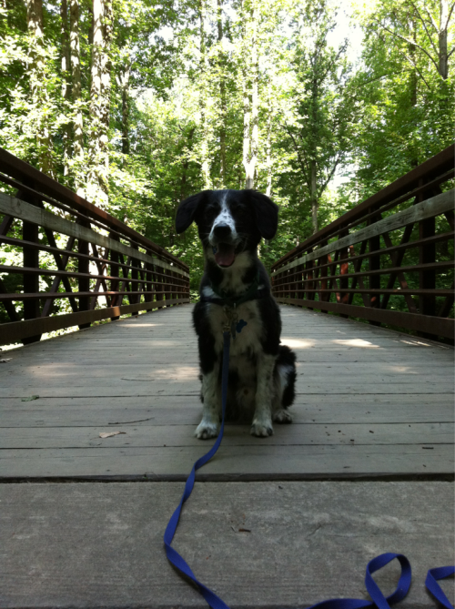 Jibblet pauses on the trail bridge over Long Branch Valley stream in Annandale, VA. (June 18, 2012)