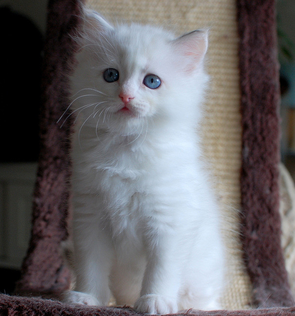 Juliet by Pacificat Ragdolls on Flickr.