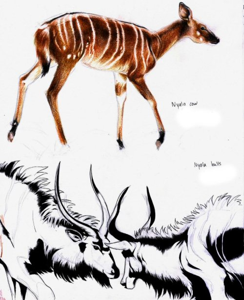 tansey-illustrates:  More nyalas! I love the difference in colour between the cows & bulls. Jan 2010.