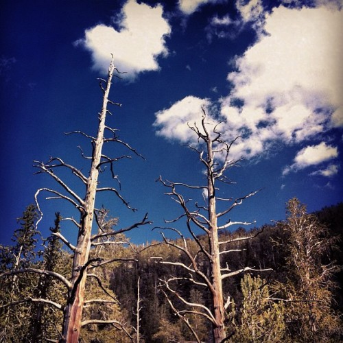 #hiking in the #whitemountains #hwy395 #california #bristlecone #ancient #pineforest  (Taken with Instagram)