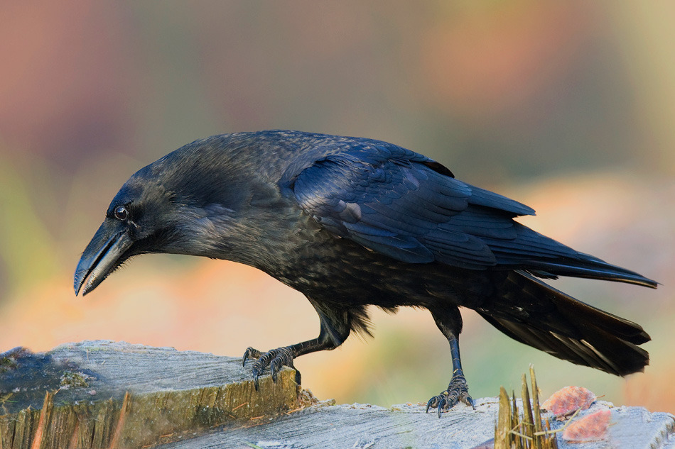 Raven, by nature photographer Cezary Korkosz