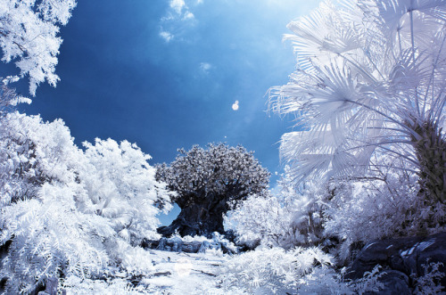 Disney's Animal Kingdom - Tree of Life Infrared by Tom Bricker (WDWFigment) on Flickr.