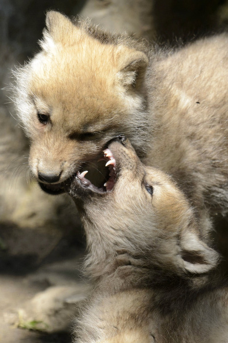 allcreatures:   Two two-month old baby arctic wolves play in their enclosure in the zoo de Servion, in Servion, Switzerland, Sunday, June 17, 2012.  Laurent Gillieron | AP (via Day in Pictures - The Sacramento Bee, Sacramento, California)