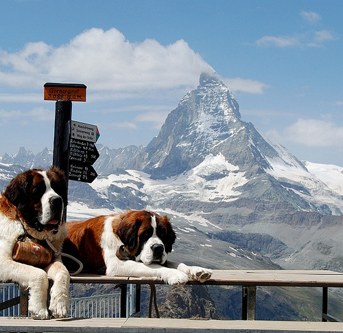 theanimalblog:   lifesavers of the Matterhorn