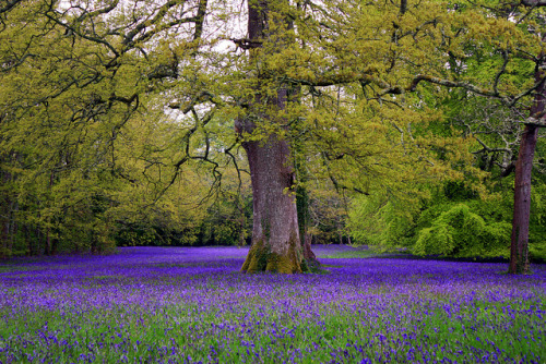 enchanted-gaia:  Bluebell meadow. by woodlandfaerie on Flickr.