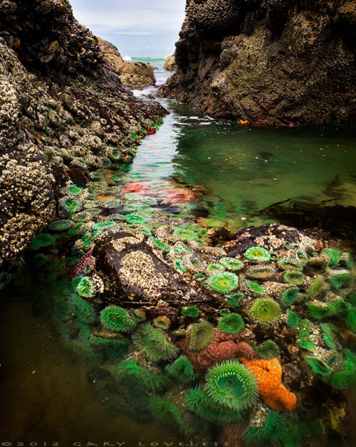 "rhamphotheca:  magicalnaturetour: ""Neptune's Secret Garden"" Tide pools with Green Anemones (Anthopleura xanthogrammica) and Ochre Stars (Pisaster ochraceus), near Cannon Beach, Oregon (photo: Gary Loveless)"