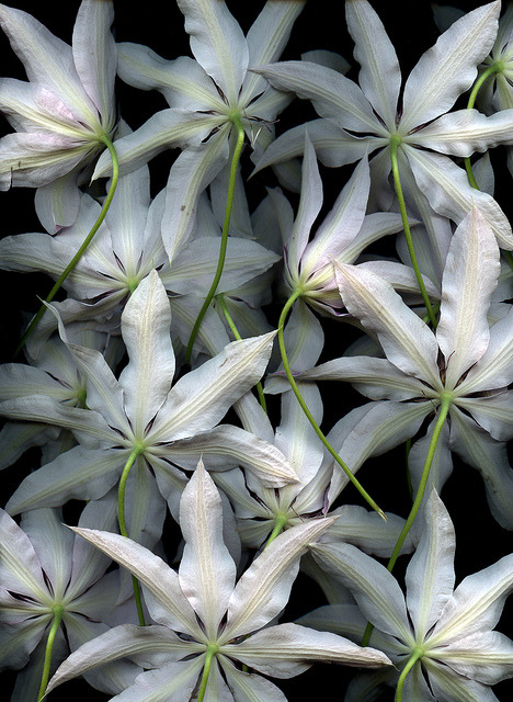 coffeenuts:  54374-01 Clematis 'Lincoln Star' by horticultural art on Flickr.