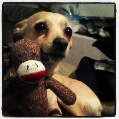 Lilybear with her sock monkey #dog #mixbreed #cute #selfie #sockmonkey #coheedandcambria (Taken with Instagram)