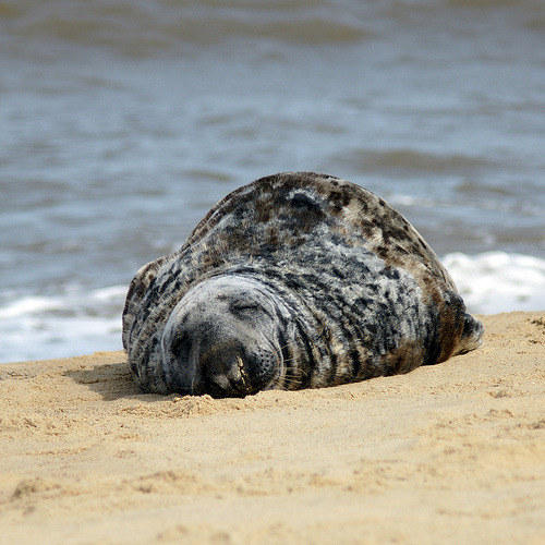 Sleepy Seal. (Bearseye)