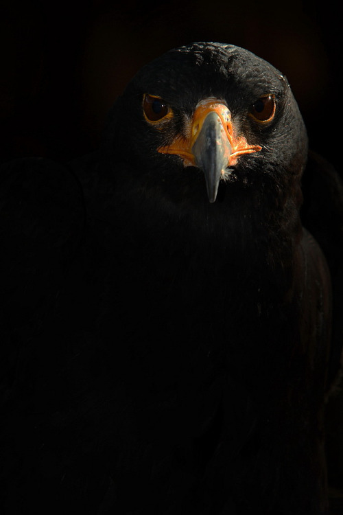 Black Eagle (by Another Timothy)