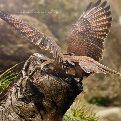 worldlyanimals:  Birds of Prey: Brown Hawk (JacquelineBarkla)