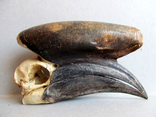 Black casqued hornbill skull, male