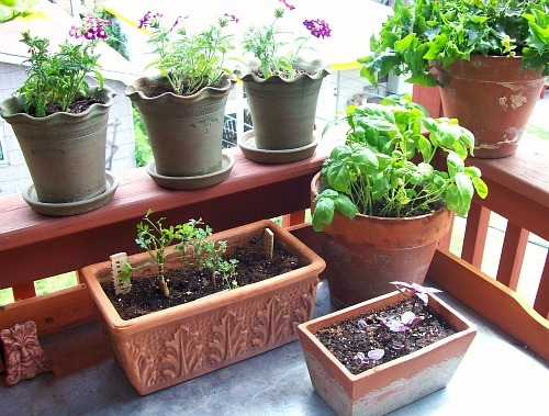 City gardening: Terracotta pots on the back porch—herbs, seedlings and violet verbena. And yes, I need that big pot of basil!