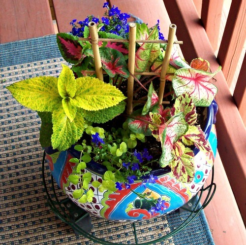 City gardening: Mexican pottery planted with various shades of coleus, a red and green caladium, creeping jenny and blue lobelia. It's a little crowded. And will only get more so!