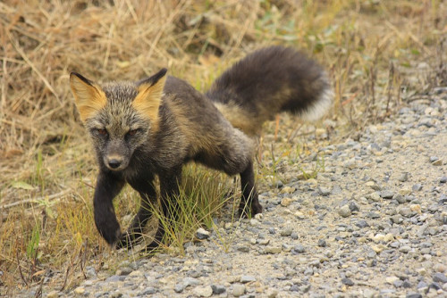 worldlyanimals:  Cross Fox (KerryLandis)