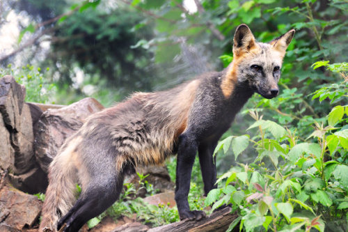 worldlyanimals:  Cross Fox (PunkerThanThou)