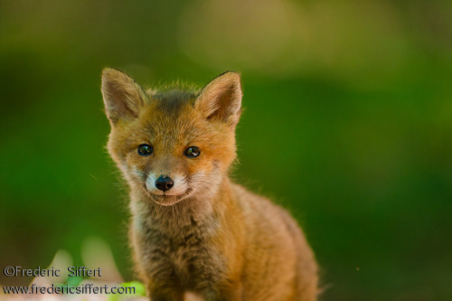 Baby Fox  (by fredericsiffert.com)