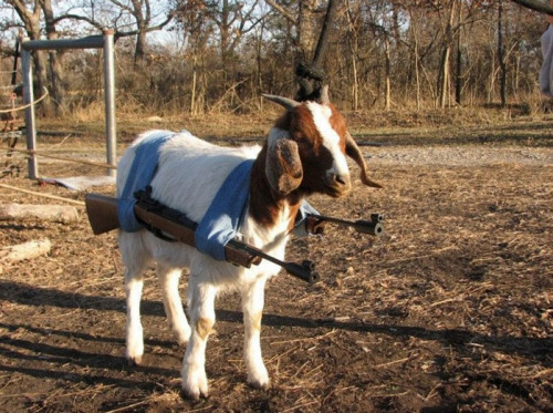 ejacutastic:  battle goat