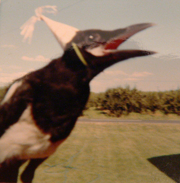ain't no party like a magpie party thedaintysquid:  a magpie in a hat by Christel Weixelman on Flickr.