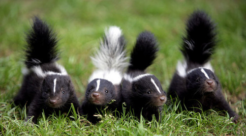 Skunk  by floridapfe on Flickr.