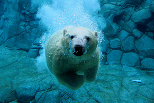 Polar Bear Dive by Snelvis on Flickr.