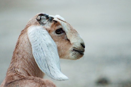 Baby goat by john4kc on Flickr.