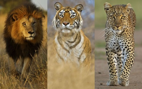 Lion, tiger, or leopard?  funnywildlife:  The Three Kings!! From left: African lion 'Notch', star of Disney's African Cats, on the Masai Mara; Bengal tiger female in India; and African leopard, Masai Mara by Andy Rouse