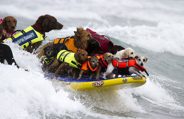 The 7th Annual Dog Surfing Competition in San Diego