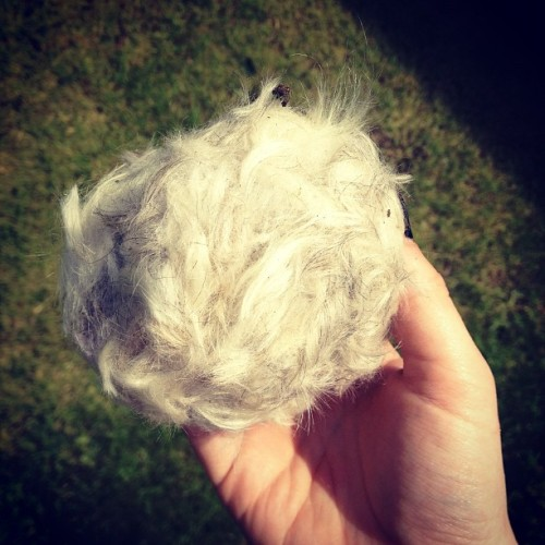 i clipped my dog…this is just his back fur! (Taken with Instagram)