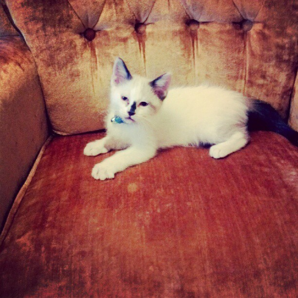 David #Bowie is satisfied with his new chair. #kitten #catsofinstagram  (Taken with Instagram)