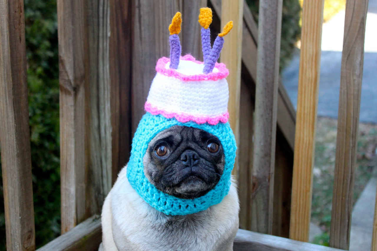 days-of-apathy:  Happy birthday pug doesn't seem too happy