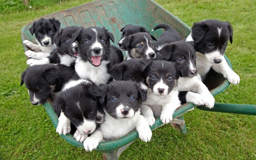 A sheepdog named 'Star' has given birth to a tribe of 14 puppies which all fit in the belly of a wheelbarrow in Leominster, Herefordshire, UK