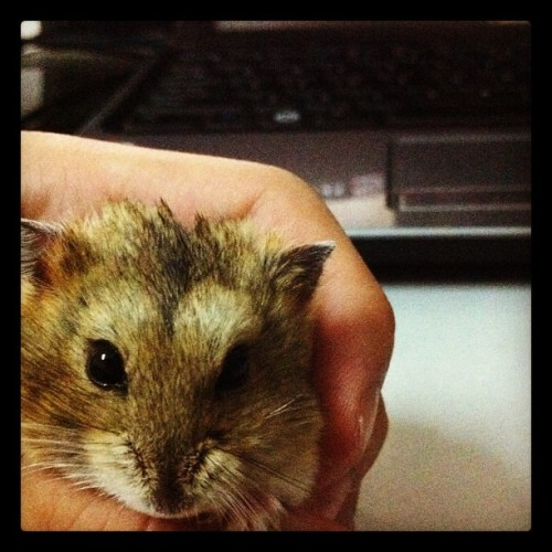 She is pregnant again =D #hamster #cute #likeaboss  (Taken with Instagram)