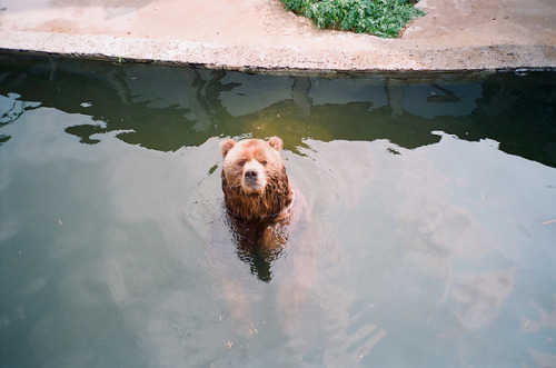 r0mance-is:  Bear cools down by Plaggue on Flickr.