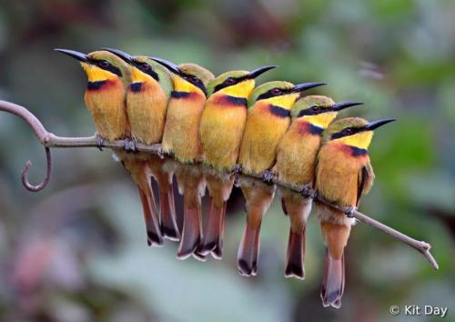 magicalnaturetour:  A group of Little Bee-eaters huddling together to roost.by Kit Day :)