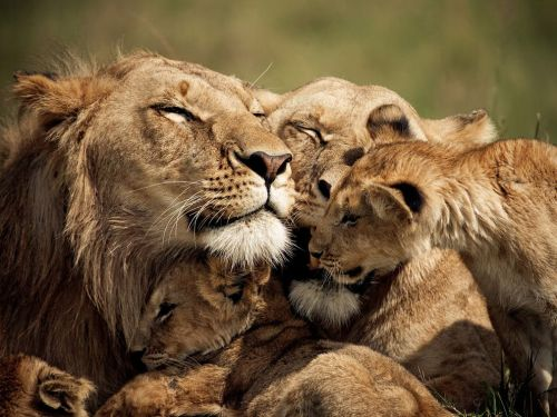 Lions and Cubs, Kenya by Brandon Harris