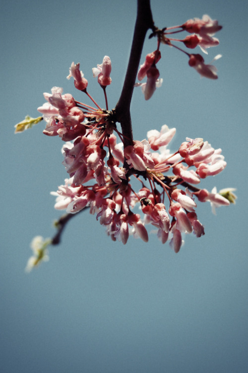 the-portmanteau:  Red Bud Blossoms, Olive Branch, MS, 2012