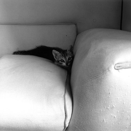 snowce:  Robert Mapplethorpe, Kitten, 1983