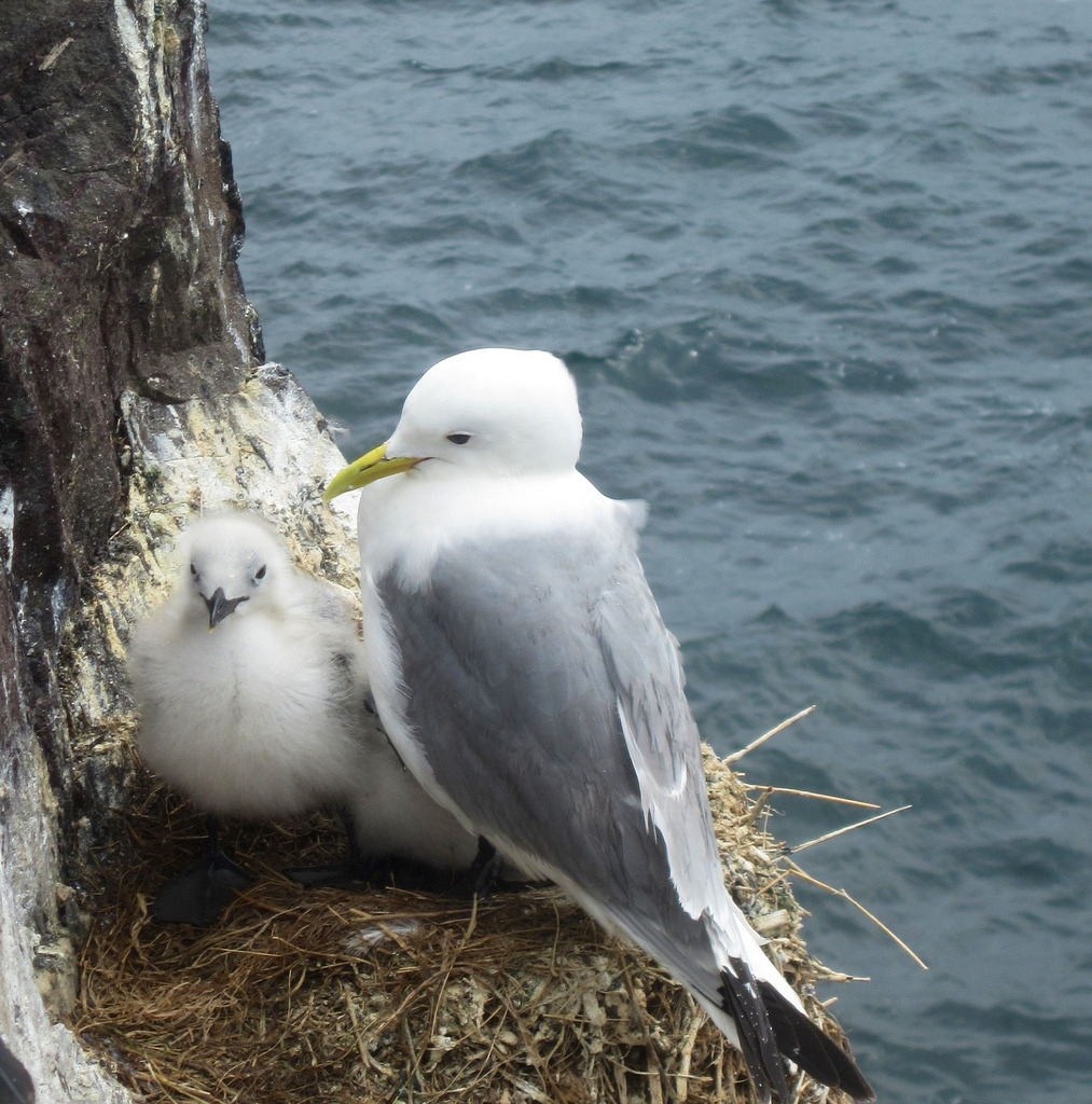 Gull and chick, Farne Island (by Snap shot7)
