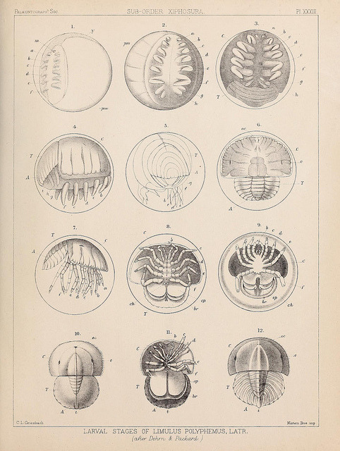Larval stages of Limulus polyphemus by BioDivLibrary on Flickr. A monograph of the British fossil Crustacea,.London,Printed for the Palæontographical Society,1866-78..biodiversitylibrary.org/page/37092612
