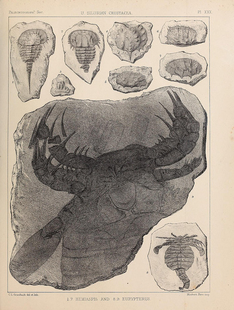 Hemiaspis and Eurypterus by BioDivLibrary on Flickr. 'Eurypterids (sea scorpions) are an extinct group of arthropods related to arachnids which include the largest known arthropods that ever lived. They are members of the extinct order Eurypterida (Chelicerata); which is the most diverse Paleozoic chelicerate order in terms of species… They went extinct during the Permian–Triassic extinction event 251 million years ago.' A monograph of the British fossil Crustacea,.London,Printed for the Palæontographical Society,1866-78..biodiversitylibrary.org/page/37092516