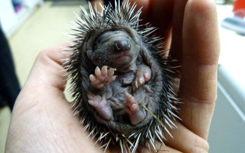 Tiny hedgehog escapes garden fire! The Telegraph reports:  A home owner in Piltdown, East Sussex, was clearing overgrown bushes in his garden and had piled the vegetation ready to start a bonfire. But when he went to light it, he heard little squeaks coming from the debris. He discovered four 10-day-old hedgehogs inside and called in animal rescuers.  All the tiny hedgies are safe and sound and so cute, jeepers creepers. Thank goodness they squeaked! [photo by Ferrari Press Agency]